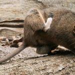 Cách khử mùi chuột trong nhà nhất định bạn nên biết